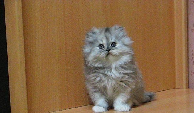 Predám perzské dlhosrsté mačiatka - Mačky Nové Zámky - Na Predaj .EU 8f1bbd06c47
